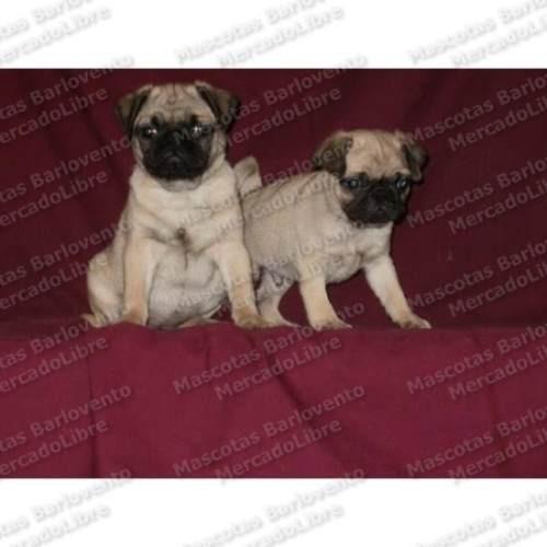 gran oferta cachorros pug hombres de negro apto registro fcm