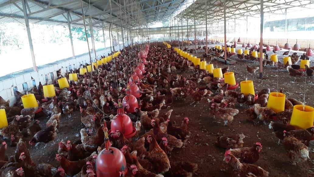 granja para gallinas ponedoras o para pollos