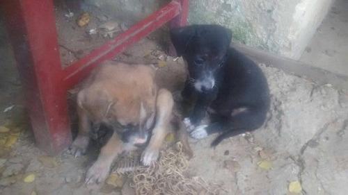 gratis, 8 perros criollos, recien nacidos, parasitados, herm