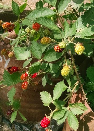 grosella rosa + blackberry + frambuesa + frambuesa amarilla
