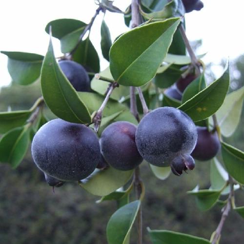 guabijú muda, a fruta mais saborosa do sudeste (maravilhosa)