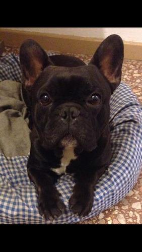 guardería canina y criadero de bulldog francés en adrogue