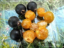 guaviyu, árbol frutal  autoct. de 60 a 70 cms bien ramif.-