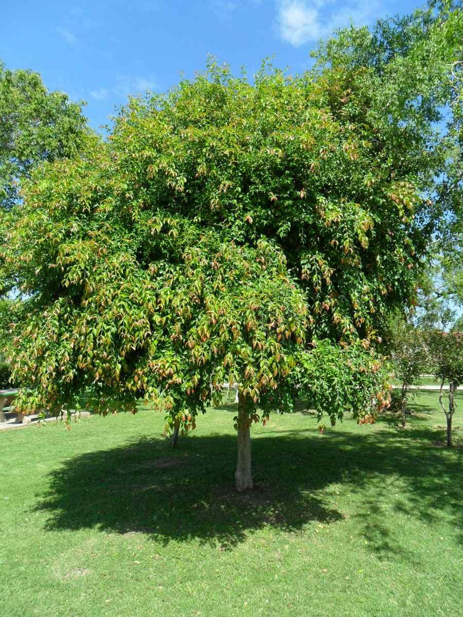 Guaviy rbol nativo floral ricos frutos follaje for Lista de arboles frutales de hoja perenne
