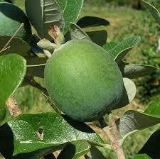 guayabo criollo, arbol de deliciosa fruta