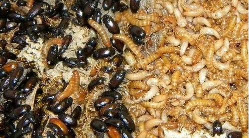 gusanos de maní