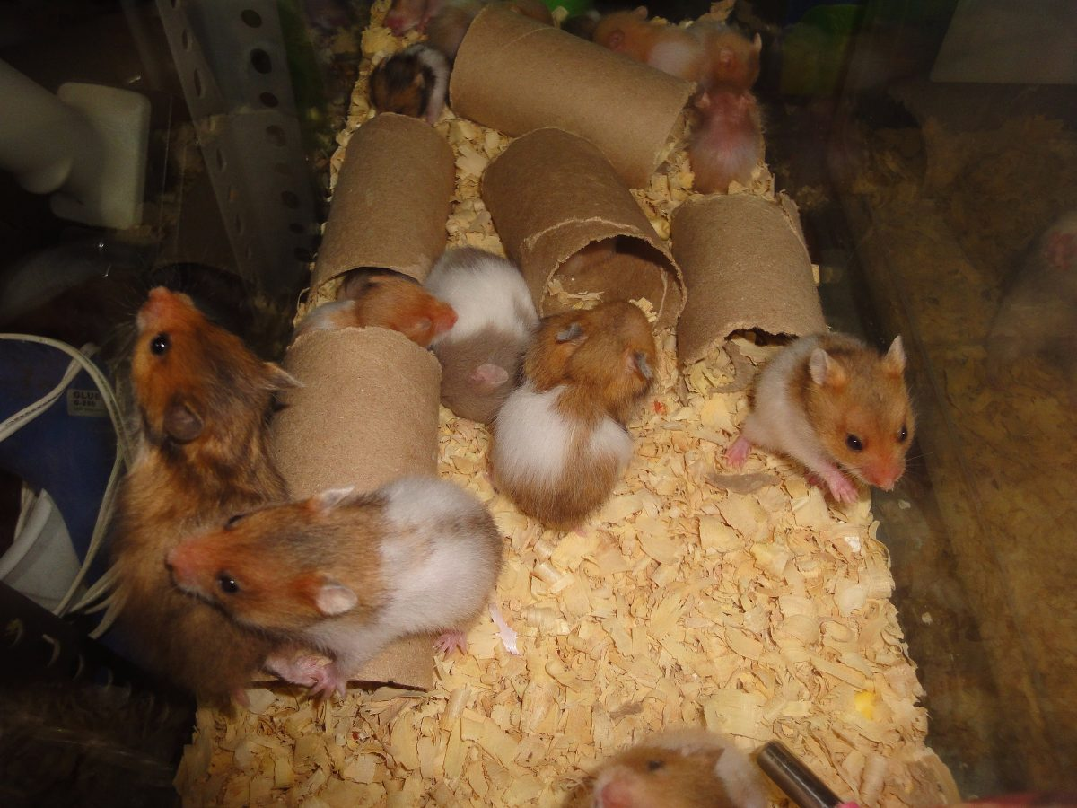X Hamster. De