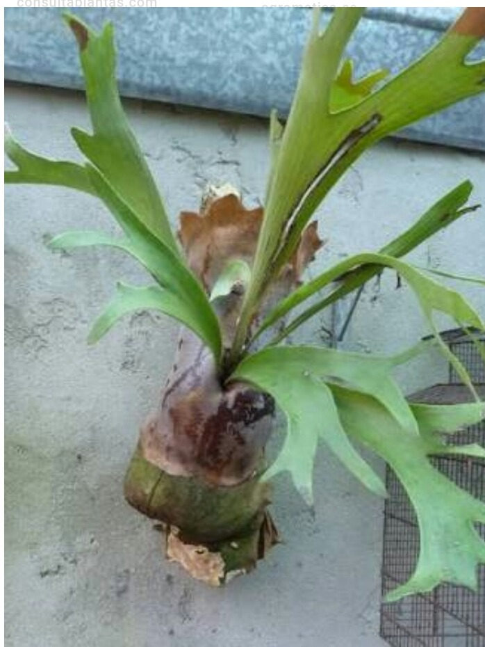 cuerno de alce planta