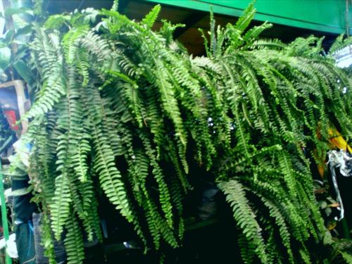 helechos babilónicos , plantas colgantes .