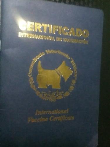 hembra bulldog inglés tricolor