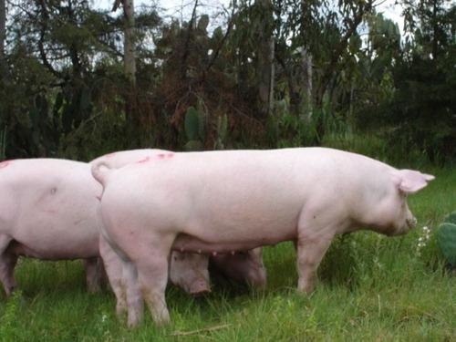 hembras y vientres porcinas, cerdas, marranas, pie de cría,