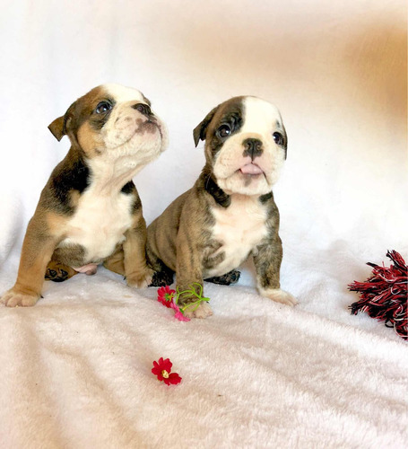 hembritas bulldog ingles +pedigree+ 1 mes de vete en devoto