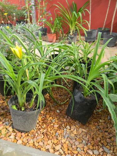 hemerocallis amarillo rosa 3ltrs emerocalis plantas