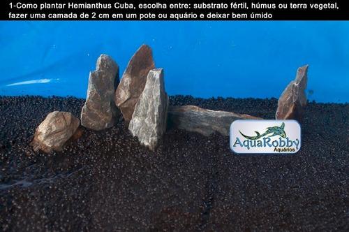 hemianthus callitrichoides carpete para aquário -20 sementes