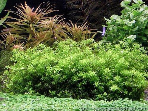 hemianthus micranthemoides planta acuatica peces