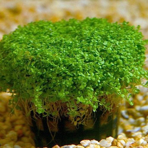 hemiantus calitrichoide  cuba . plantas para acuarios