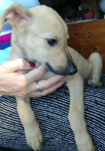 hermosa cachorra en adopción responsable