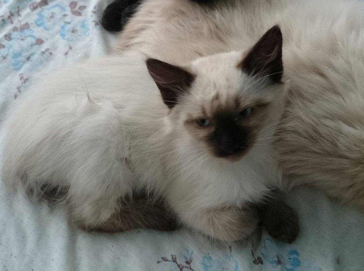 Hermosa gatitos siames 2 meses de edad gato siames - Gatitos de un mes ...