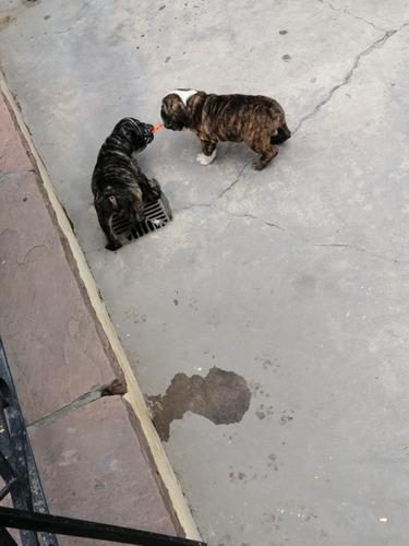 hermosa pareja de bulldog inglés atigrados