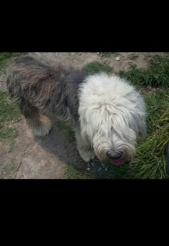 hermosa perra pastor ingles!!!