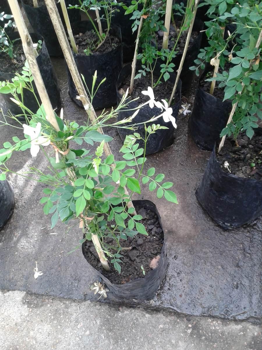 Hermosa planta jazmin del pais 290 00 en mercado libre for Jazmin planta precio