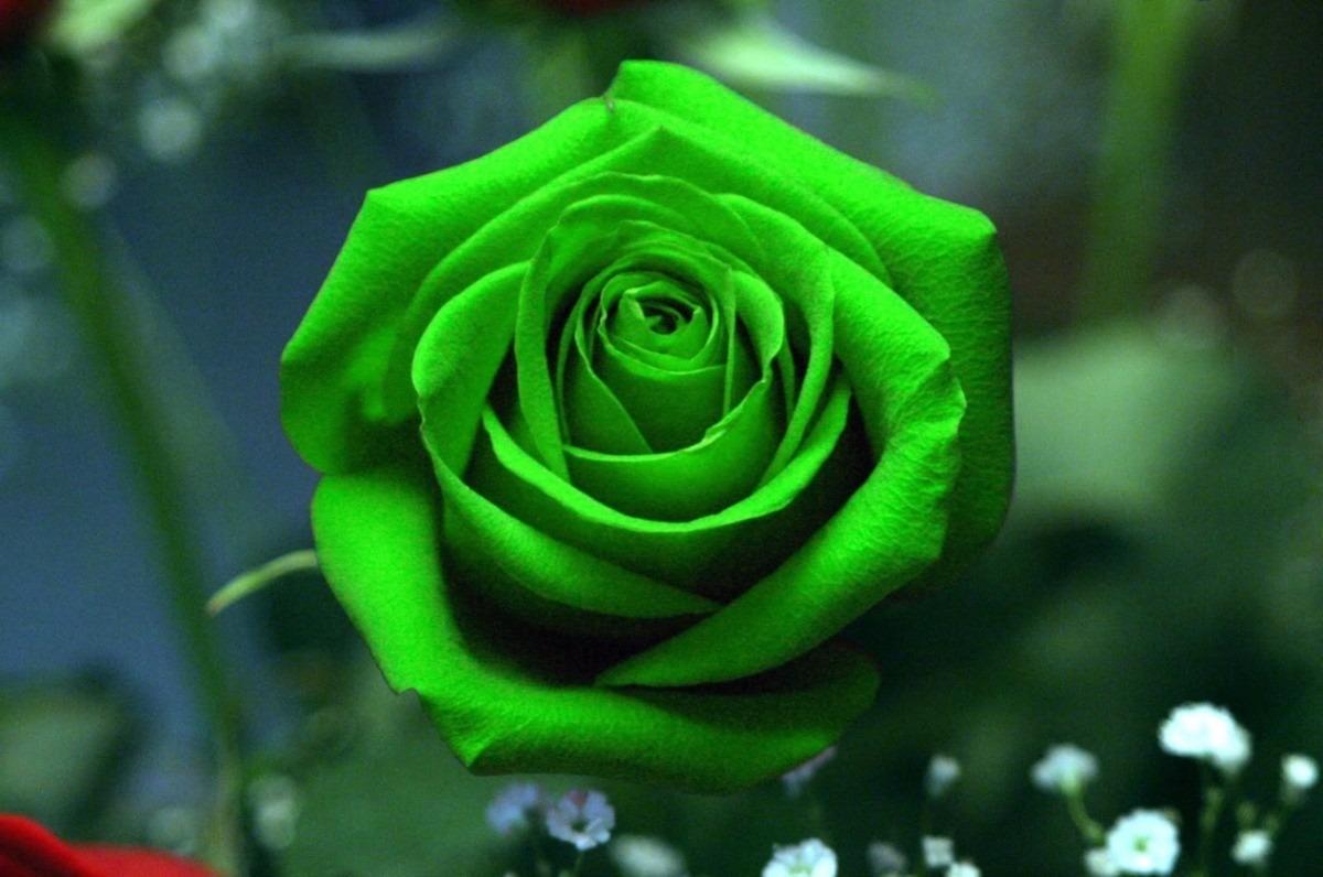 Hermosas Exoticas Flores Rosas Rosales Verdes Semillas S 39 99 En
