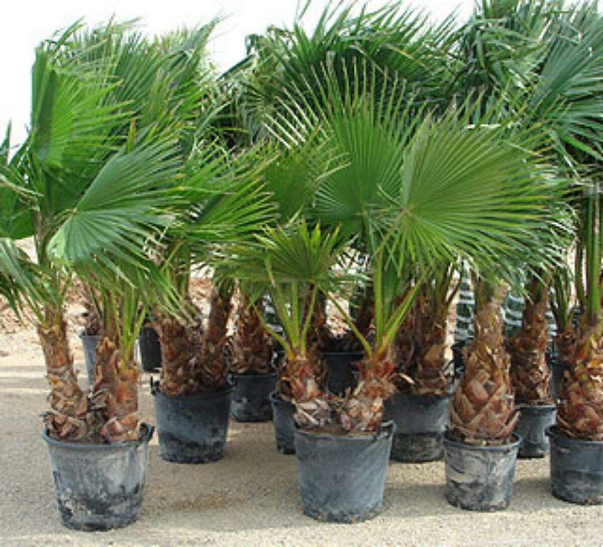 Hermosas palmeras washingtonia phoenix trachycarpus for Plantas de interior precios