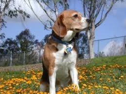 hermoso beagle tricolor puro  para montas