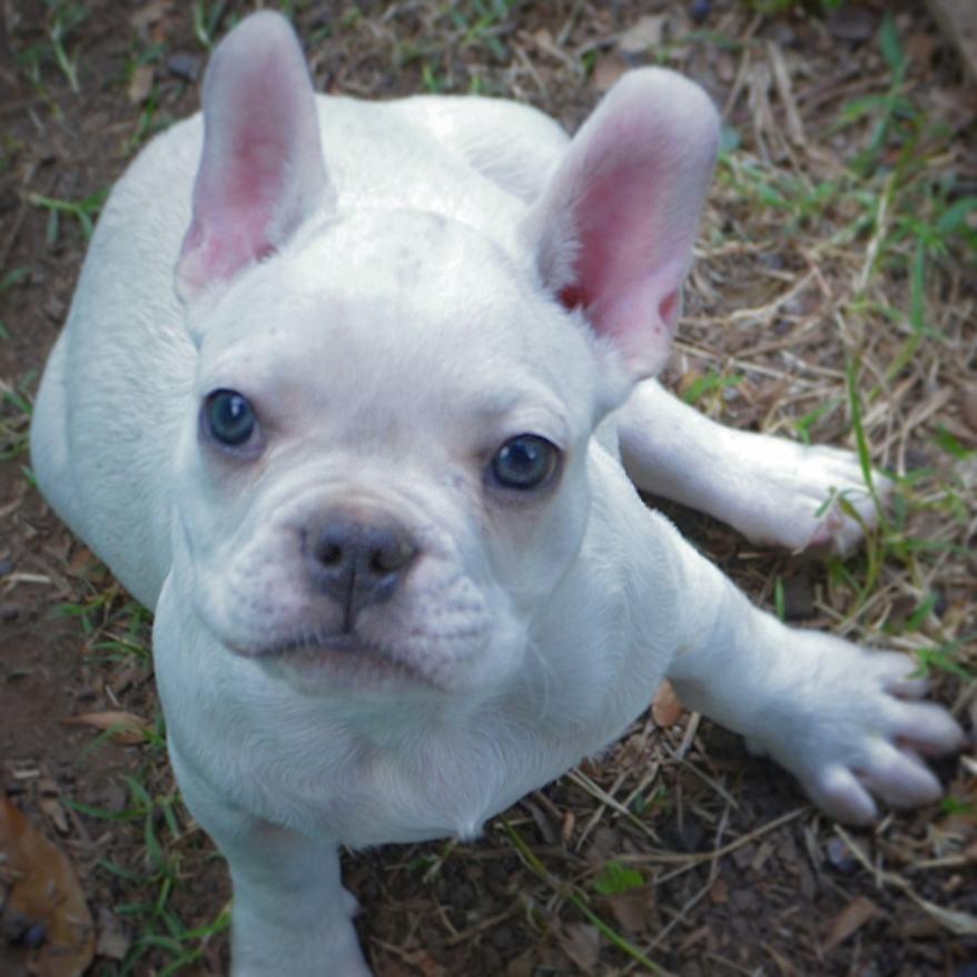 Hermoso Bebe Bulldog Francés Fca 40 De Descuento Garantia