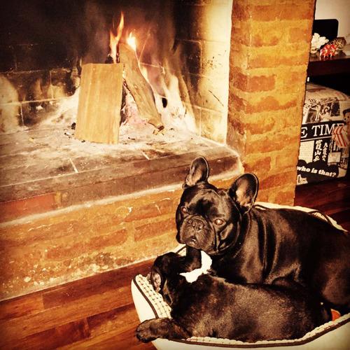 hermoso bulldog francés con pedigree para monta