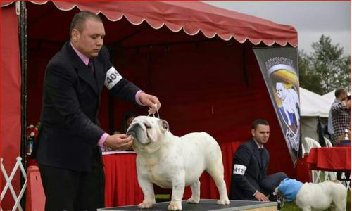 hermoso bulldog ingles para monta
