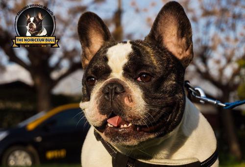 hermoso cachorro bulldog francés