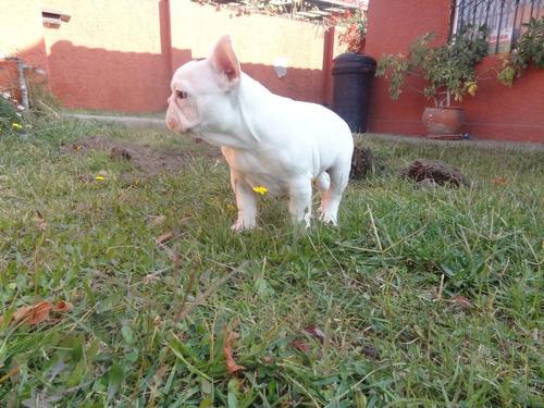 hermoso cachorro inscrito bulldog francés vaquita