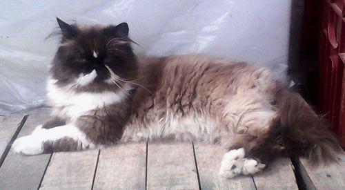 hermoso gatito persa disponible para montas