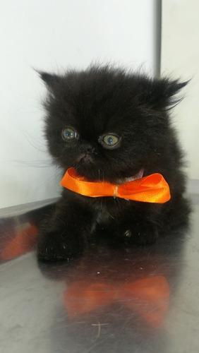 hermoso gato persa