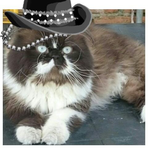 hermoso gato persa disponible para montas