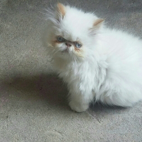 hermoso gato persa disponible para montas últimas fotos hija
