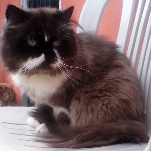 hermoso gato persa extremo super ñato para monta