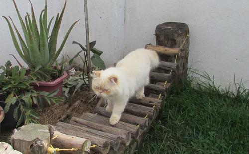 hermoso gato persa himalaya r e p r o d u c t o r