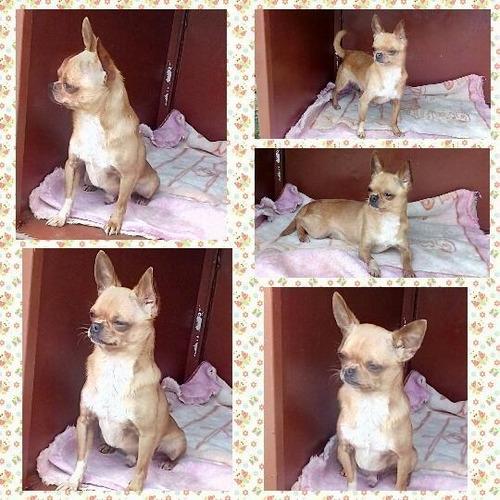 hermoso perrito chihuahua cabeza de manzana