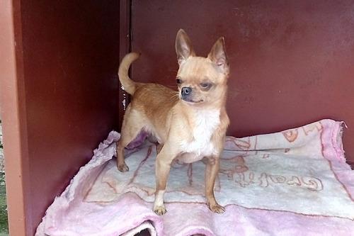 hermoso perrito chihuahua cabeza de manzana disponible monta