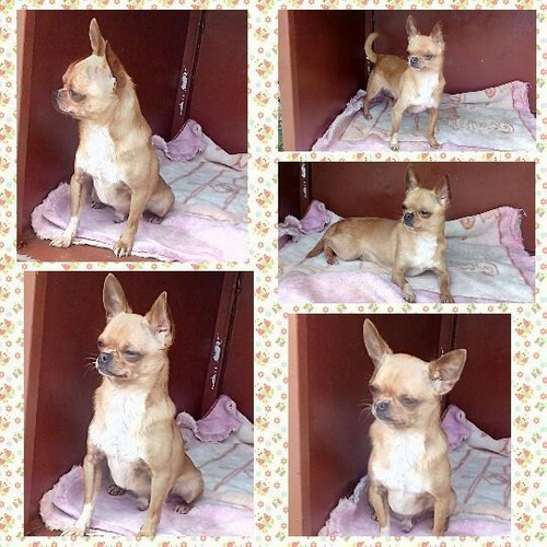 hermoso perrito chihuahua cabeza de manzana para montas