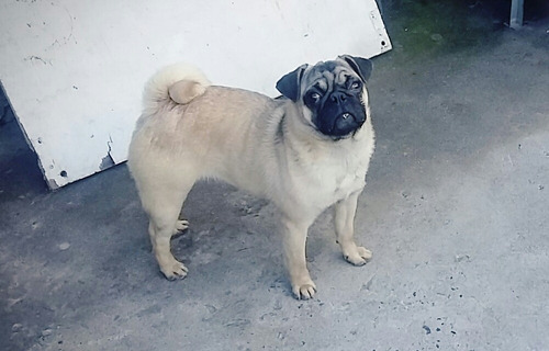hermoso perrito pug mini toy macho disponible para monta