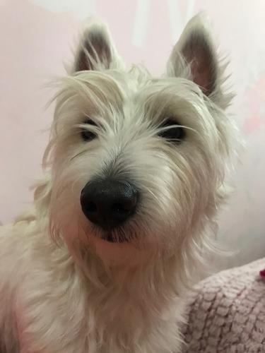 hermoso west highland white terrier para monta