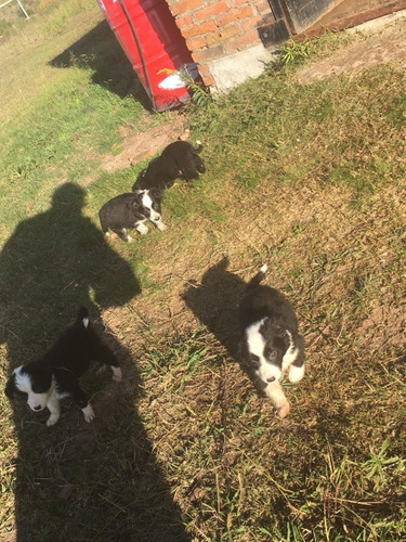 hermosos border collies, hembritas 2 meses y medios