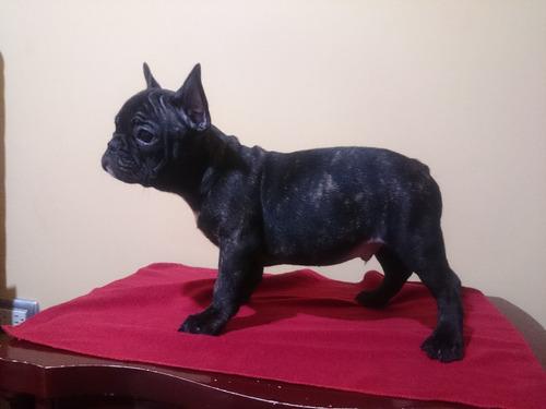 hermosos bulldog francés