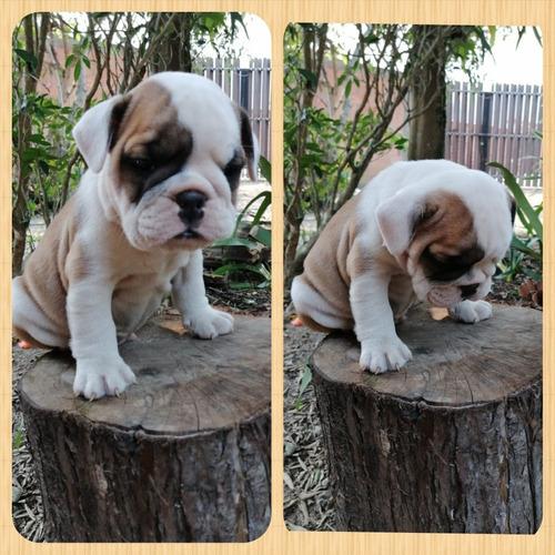 hermosos bulldog inglés. 45 días de nacidos puros.