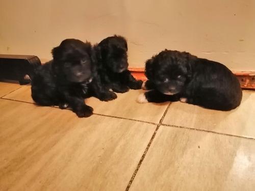 hermosos cachorritos poodle toy