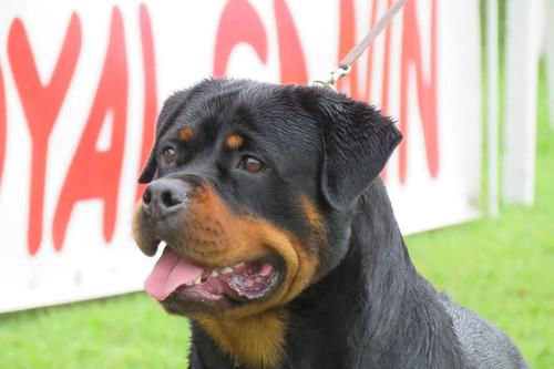hermosos cachorro rottweiler de raza alemana, 100% puros