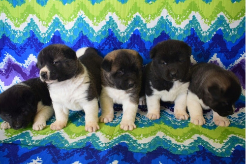 hermosos cachorros akita